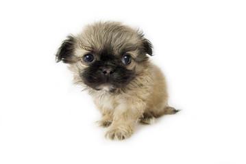 Cute little pekingese puppy
