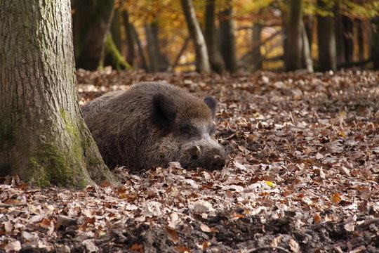 Wildschwein in Nahaufnahme