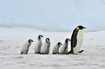 Papiers peints Antarctique Emperor Penguin