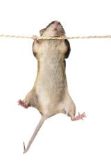 Fototapeta Maus  an einem Seil obraz