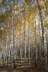Spoed Foto op Canvas Berkbosje Birchwood