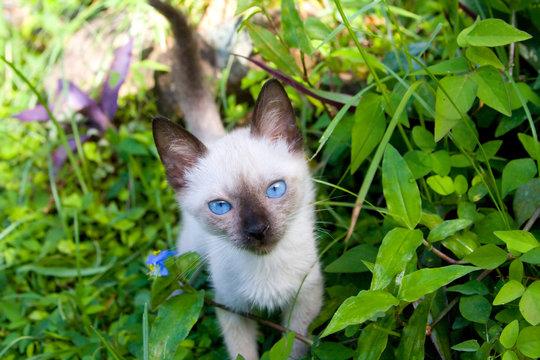 siamese kitten cute blue eyes