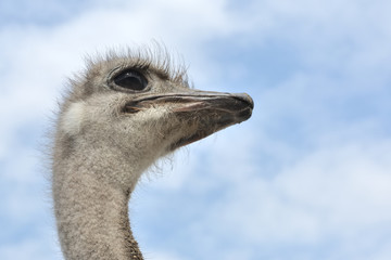 Ostrich's head and neck and sky as background