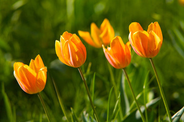 Tulips on a grass