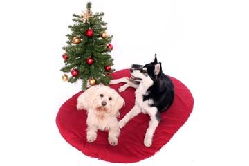 zwei Hunde liegen vor dem Weihnachtsbaum