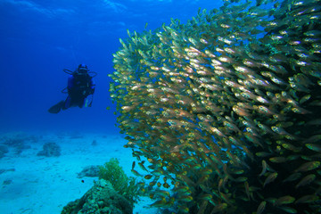 Scuba Diver and Shoal of Glassfish