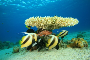 Acropora Coral and Red Sea Bannerfish