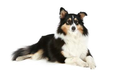 Shetland Collie dog lying on a white background