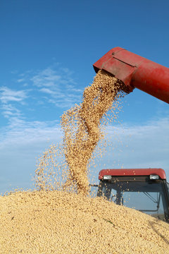 Grain auger of combine pouring soybean into tractor trailer