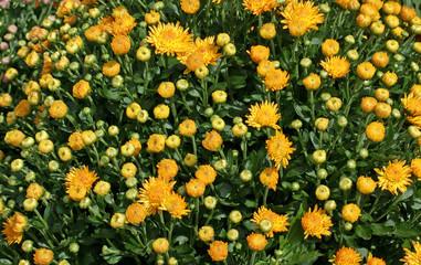 Yellow hardy garden mums