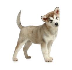 Malamute puppy (3 months)