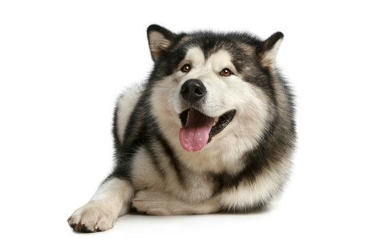 Happy malamute