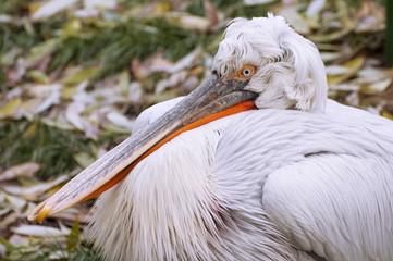 Пеликан (pelican)