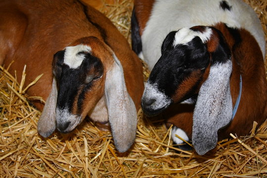 Goats engaged in intimate conversation