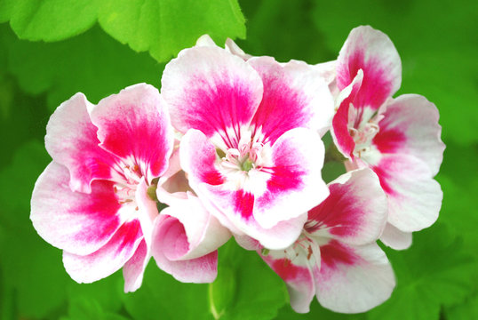 Pink flowers of a geranium with green leaves