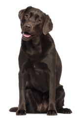 Fototapete - Labrador, 2 years old, sitting in front of white background