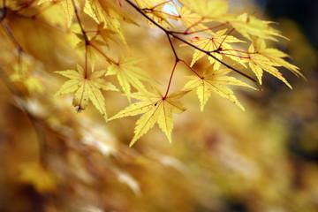 黄葉のカエデ