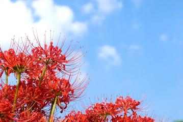 マンジュシャゲの花と空