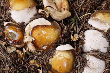 Stinkmorcheln (Hexeneier)