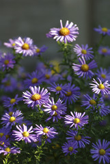 many blue flowers