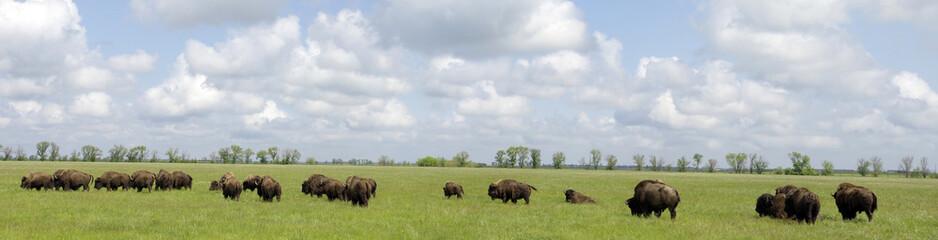 veel bizons