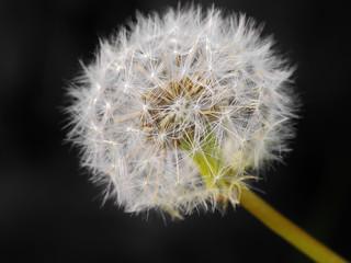 pissenlit,dandelion