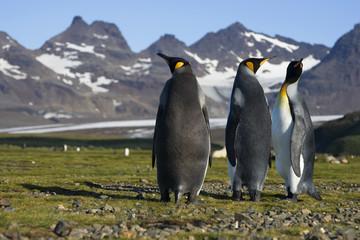 Three King Penguins on Salisbury Plain, South Georgia