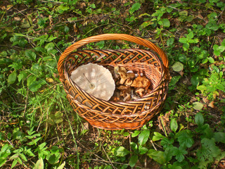Basket with the collected edible fungi in wood, Moscow Region.