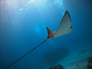 Spotted eagle ray gliding through water