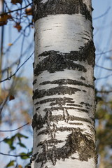 Birkenholz Birch.