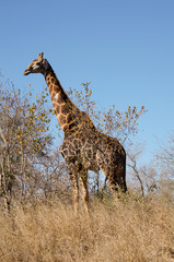 Giraffe in Kruger national park (giraffa camelopardalis)