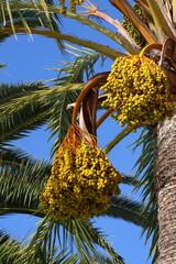 Palm tree - Palma de Mallorca - Balearic Islands