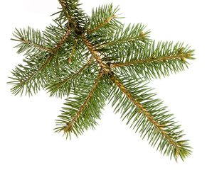 branch fir-tree, isolated wiht clipping path