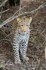 Leopard in Kruger park (Panthera pardus pardus)