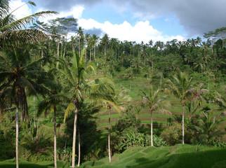 Bali, rice terraces