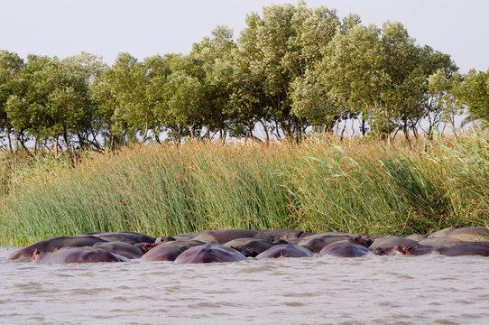 Group of Hippos (Hippopotamus) relaxing in the sun