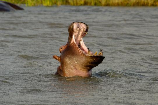 Hippo close up (Hippopotamus) open its mouth