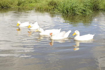 Geese in the Pond