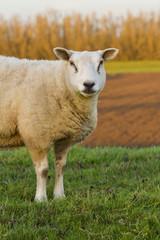 Tuinposter Schapen A single lamb chewing on grass