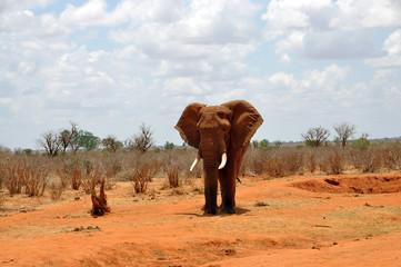 Acrylic Prints Elefant in der Steppe