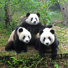Zelfklevend Fotobehang Panda Giant panda bear posing for camera