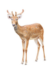 Garden Poster Antelope Cute sika deer at a zoo isolated on white
