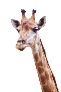 female giraffe head and neck isolated on white