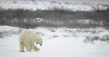 Yawning polar bear.
