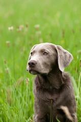 Labrador, silbergrau, Apportierhund, Jagdhund