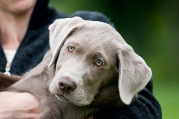 Labrador, silbergau, Apportierhund, Hund und Mensch