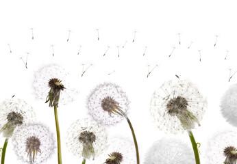 white dandelions field