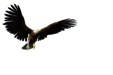 Fototapete - eagle casual flyght white background
