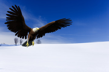 Fototapete - eagle flying on snow field