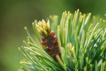 Blüte einer Mädchenkiefer - Pinus parviflora